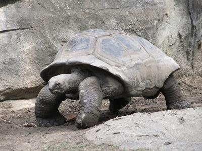 giant-tortoise-reptile-shell-walking-162307.jpeg